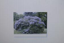 20 Samen Albizia chinensis,Albizia stipulata,Seidenbaum, # 244