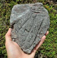 Fossil Crinoid Sea Lilly Scyphocrinites Devonian Moroccan fossils Ref I.Cew