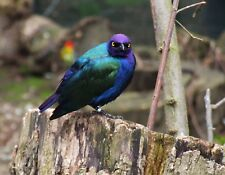 METAL REFRIGERATOR MAGNET Adult Purple Glossy Starling Bird Travel Netherlands