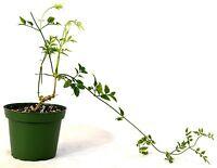 "Pink Jasmine Plant - Jasminum Polyanthum - Fragrant - 4"" Pot GIFT Holiday Mature"
