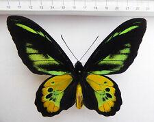 Ornithoptera rothschildi Männchen, Irian Jaja, Arfak, INDONESIA,XXL   09/5