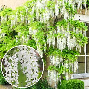 Wisteria Alba   White Flowering Deciduous Hardy Climbing Garden Shrub Plant