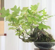 Liriodendron tulipifera Yellow Tulip Tree magnolia for Bonsai too!fresh seeds