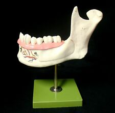SOMSO ES4 Lower Jaw of an 18-Year-Old Dental Anatomical Model (ES 4)