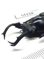 Beetle, stag beetles, 30315, Lucanidae sp. from Vietnam