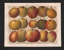 Chromo-Lithografie 1908: APFELSORTEN. System Diel-Lucas. Äpfel Apfel Kern-Obst
