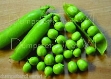 EARLY FROSTY Super Sweet early Pea ORGANIC 35+ shelling peas High Yields NON-GMO