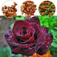 20Seeds Rot Weiß Osiria Ruby Rose Blume Seltene Samen Blume Hausgarten Deko R2A0