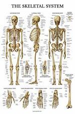 Skeletal System Anatomical Chart - LAMINATED - Human Skeleton Anatomy Poster - D