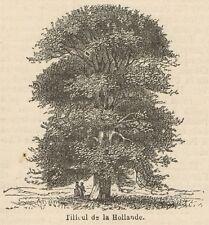 C8276 Tilleul de l'Hollande - Stampa antica - 1892 Engraving