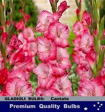 FLOWER BULBS - GLADIOLI - Cantate 10 Bulbs