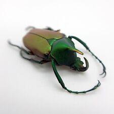 Green Scarab Beetle (Theodosia nobuyukii) Insect Collector Specimen