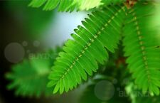 Bashfulgrass Grass seed 30 seeds Mimosa pudica sensitive plant sleepy plant
