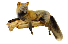 Laying Red and Silver Cross Fox Professional Taxidermy Mount Animal Statue Gift