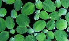 10 Dwarf Water Lettuce (25 leafs) easy Aquarium or Pond plant