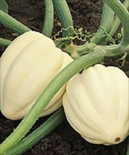 25 Seeds White Acorn Squash Cream Of the Crop Squash