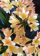 3 x Clivia miniata 'Royal Gala' Large Plug Plants. UK National Collection