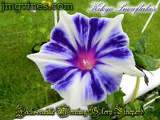 Kikyo Snowflakes Japanese Morning Glory 6 Seeds