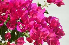 Bougainvillea Temple Fire in 75mm supergro tubes perennial plant