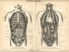 Stampa Antica 1893 = ORGANI INTERNI = MEDICINA ANATOMIA = Old Print