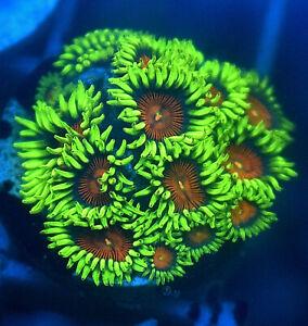 Spitfire ZOA Mini Colony,  8Heads, Soft coral frag