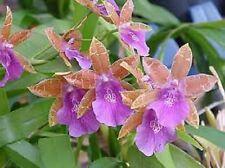 ORCHID MILTONIA CASTANEA - Beautiful epiphyte natural hybrid. Brazil.