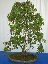 European White Birch 15 Seeds-Betula -Tree/Bonsai