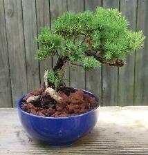Japanese juniper Bonsai Tree in 6 inch round blue pot. Jin
