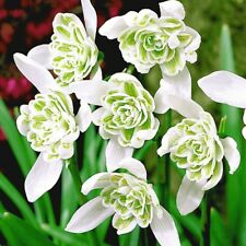 100 DOUBLE SNOWDROPS BULBS Top Quality Freshly Lifted Bulbs (Fresh In The Green)