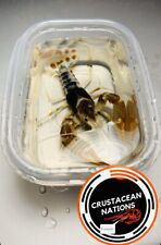 """1 Freshwater Ghost Crayfish 2"""" Crayfish will develop more color as they grow"""