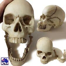 1:1 Human Skull Replica Resin Model Lifesize Skeleton Detachable Jaw GSKE55511