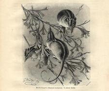Stampa antica OPOSSUM DEL MIELE Tarsipes rostratus 1891 Old antique print