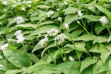 Bärlauch / Waldknoblauch – ca. 50 Samen
