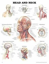 Anatomical Wall Chart  HEAD AND NECK Poster Laminated Muscles Arteries Nerves