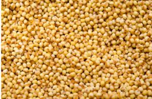 High Quality Foxtail Millet seeds  Thinai / Korralu / Kangni / Navanne 2Kg