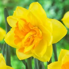 PRE-ORDER - 10 x Apotheose Daffodil bulbs.Beautiful display of Spring bulbs.