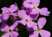 EVENING SCENTED STOCK FLOWER 200 FRESH SEEDS FREE USA SHIPPING