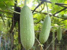 15 Graines Loofah Cylindrica, Sponge gourd, Luffa aegyptiaca Seeds