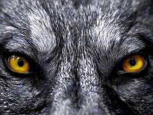 GREY WOLF EVIL EYES CLOSE UP PHOTO ART PRINT POSTER PICTURE BMP088A