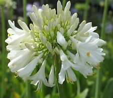 New Agapanthus Blittza pure white flowers excellent garden plant ex 2 litre pot