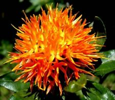 SAFFLOWER HERB SEEDS, Medicinal Remedies and Culinary Saffron Substitute