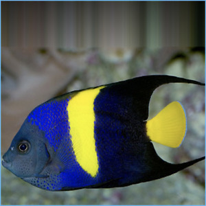 """Live Fish Robbie's Corals Red Sea Asfur Angel 3.5""""-4"""" (Pomacanthus asfur)"""