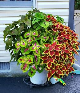 Genuine Jim's Wholiest of Coleus Coleus Seeds!!! Kongs, Jitters, Defiance more!