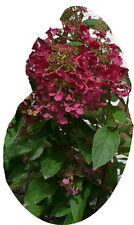 Rispenhortensie - WIMS RED - Pflanze Hortensie Blüten in bordeauxrot NEUHEIT