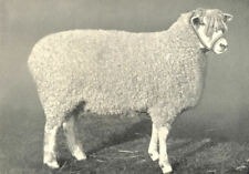 SHEEP. Cotswold Shearling Ewe, One of 1st prize pen at RASE. show, 1908 1912