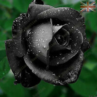 Rare Black Rose Flower Seeds Garden Plants, UK Seller, 20x Viable Seeds
