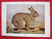 1900 ANTIQUE GRAY / COTTONTAIL RABBIT LITHOGRAPH PRINT