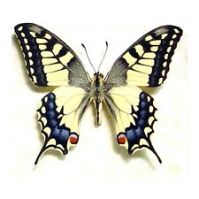 Real Framed Papilio Machaon Male Old World Swallowtail Butterfly 498