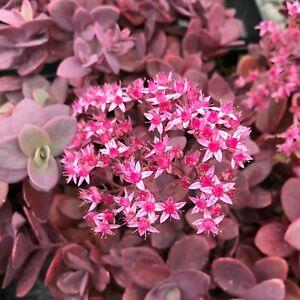 x3 Sedum Sunsparkler Cherry Tart Plug Plants