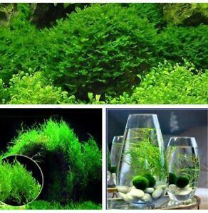 Moss Live Aquatic Plants Seeds Aquarium Water Grass Decoration UK STOCK